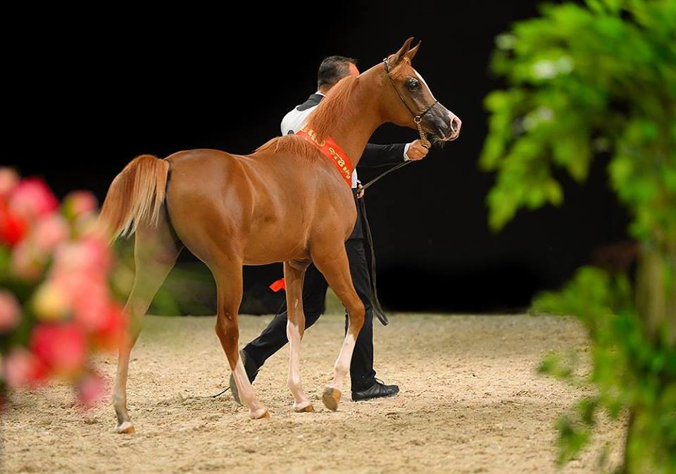 выставка конная россия чемпионат россии среди лошадей арабской породы
