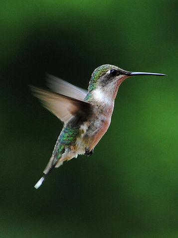 1-hummingbird-in-flight-jai-johnson.jpg