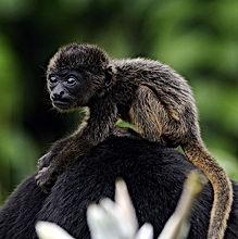 Costa Rica Baby Howler Monkey