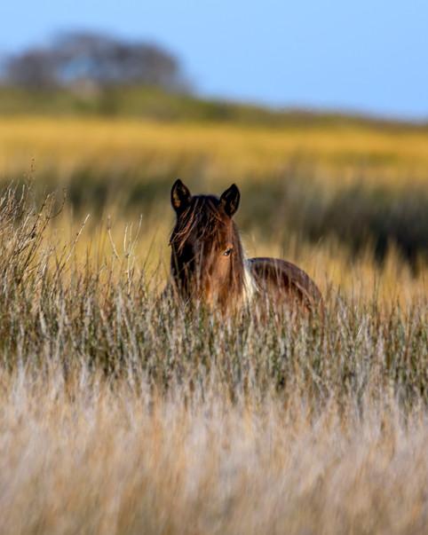 Wild Horses of Assateague Island 2