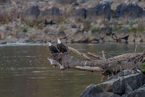 Conowingo Bald Eagle Couple