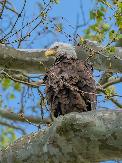 Conowingo Bald Eagle