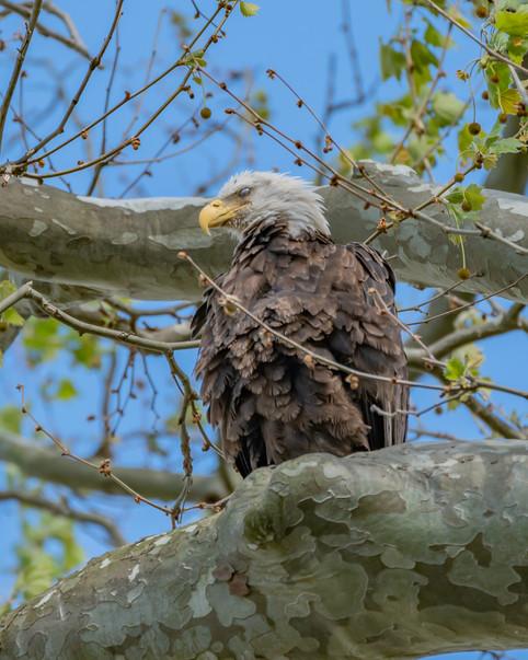 Conawingo Bald Eagle.jpg