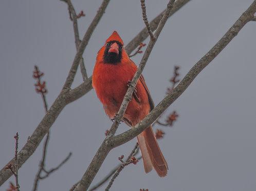 New England Cardinal