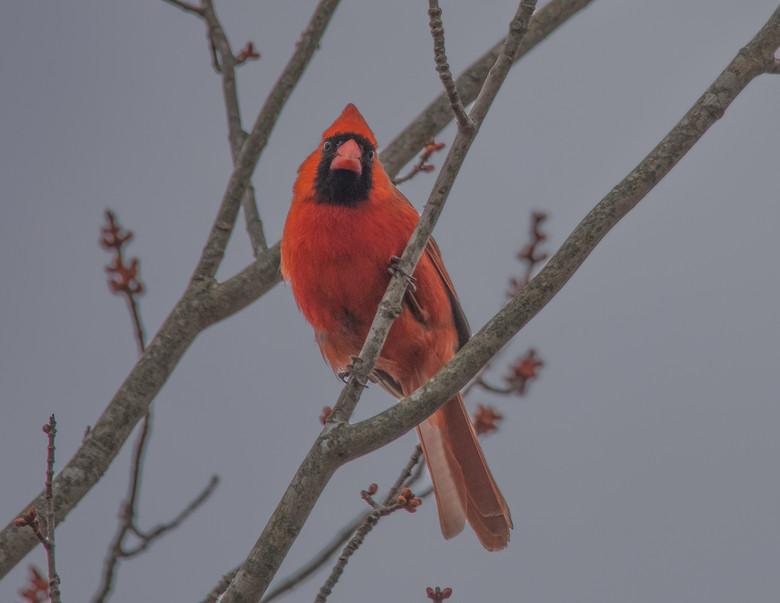 New England Cardinal.jpg