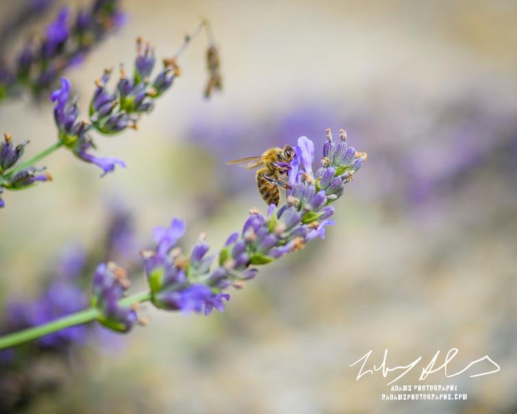 Pollenating Bee 2