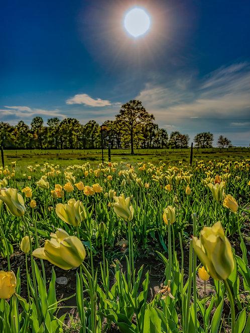 Connecticut Tulip Field