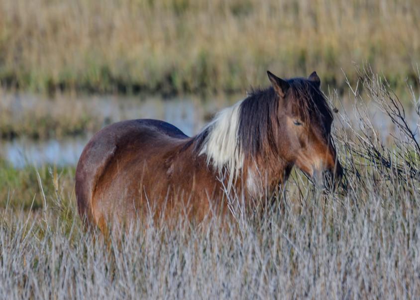 Wild Horses of Assateague Island3