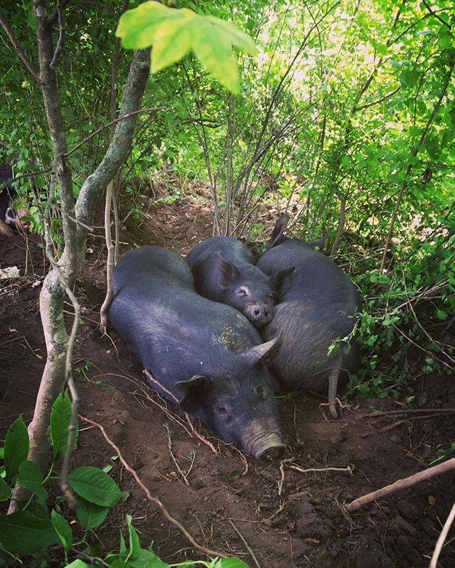 #woodlandpigs deserved a snuggle nap