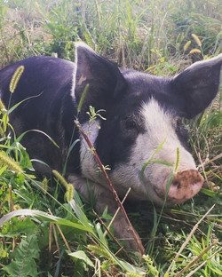 2 hog left to reserve! The #pasturedpigs have hogged down about half of their grain fiel