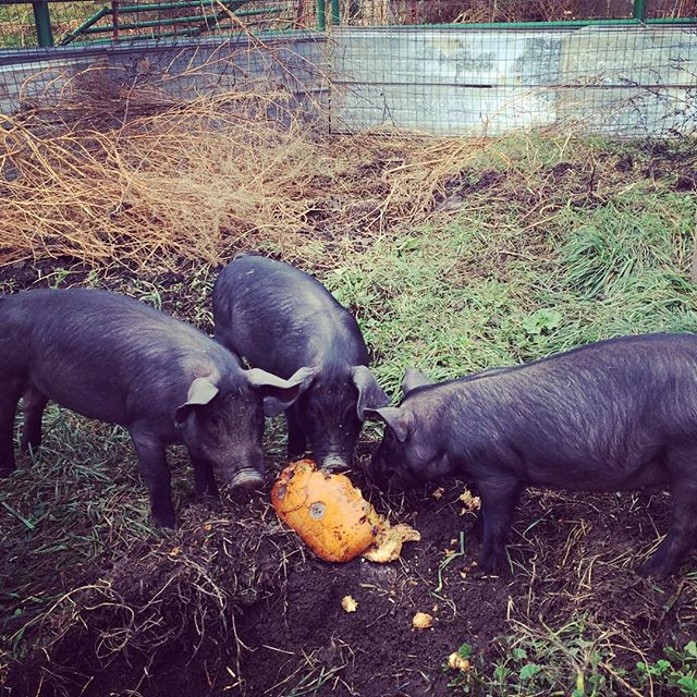 The pigs made short work of a pumpkin! The hunt for free nutrients for them begins.jpg.jpg