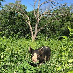 Pastured Pork from NVF