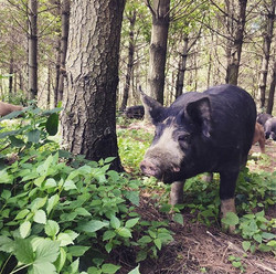 Into the deep shade of the pines we go! The #pasturedpigs love making little nests in the cool soil,