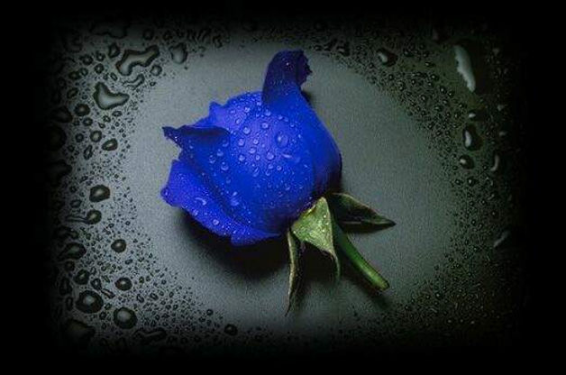 blue-rose-elegant-flowers-2.jpg