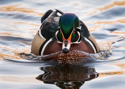 Wood Duck Swimming