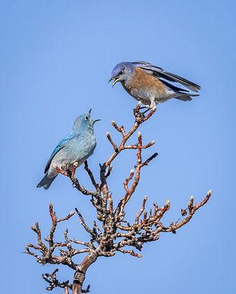 Grenier-Bluebirds.jpg