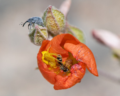 Sand Spider Consuming Miner Bee on Globe Mallow with Weevil
