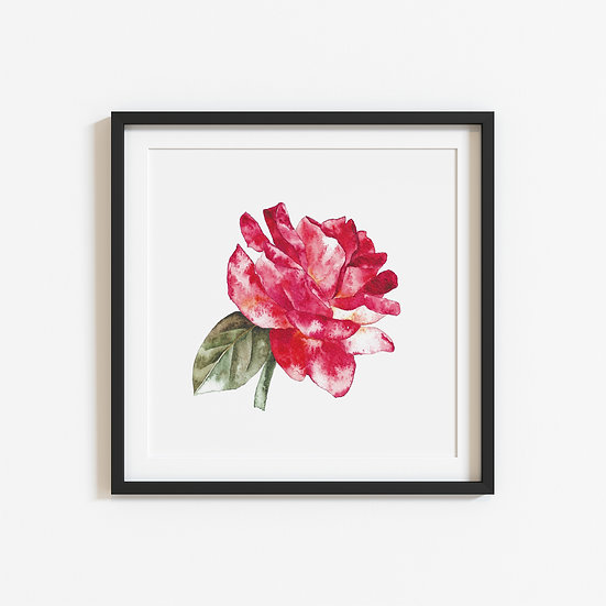 Study of a Rose, limited edition print unframed