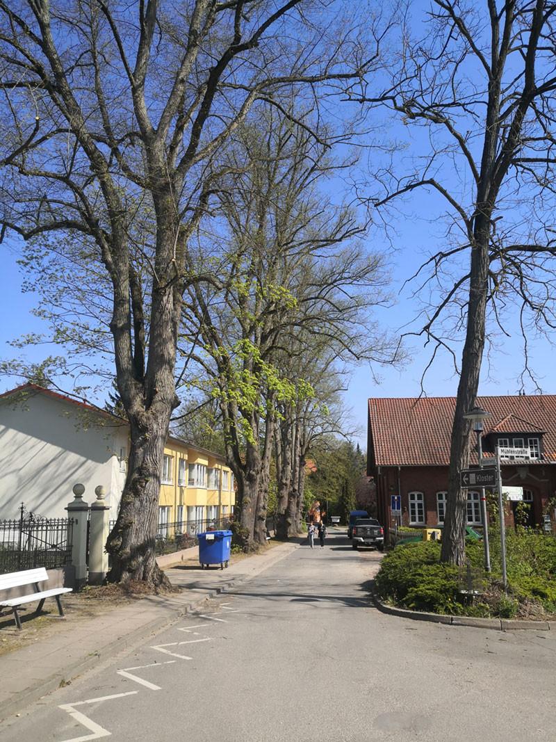 Klosterweg in Medingen mit beschnittenen Lindenbäumen