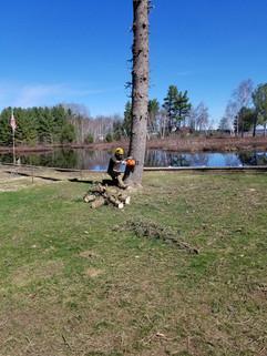 Felling a tall pine