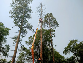 Dead pine that could have been hazardous to surrounding structures. Safely removed with a lift.