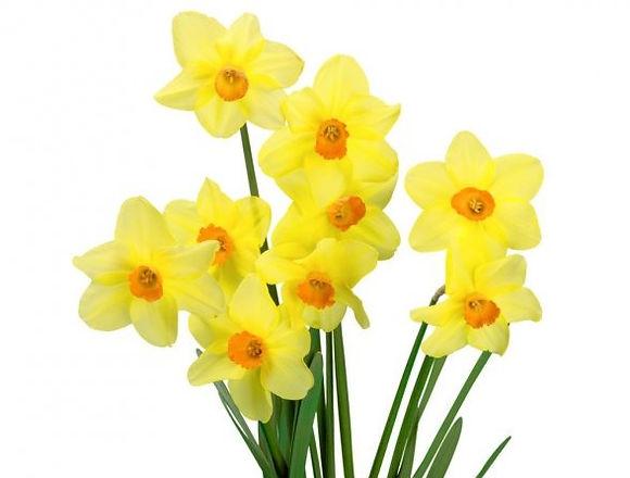 depositphotos_118523210-stock-photo-daffodils-isolated-on-white-background_edited.jpg