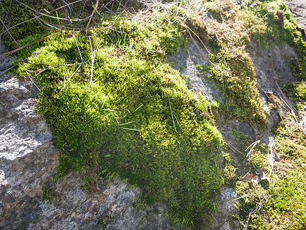 Moss on a rock in Kalamalka Provincial Park, Vernon BC