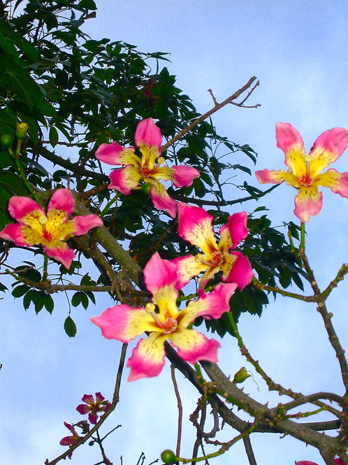 Italian Blossoms