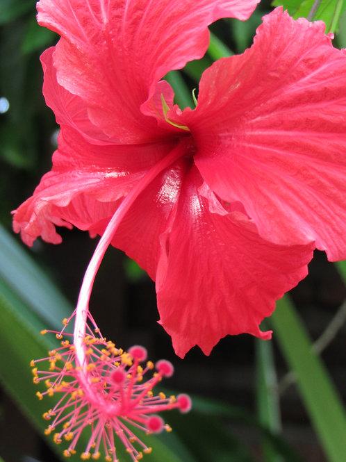 Crimson Hibiscus