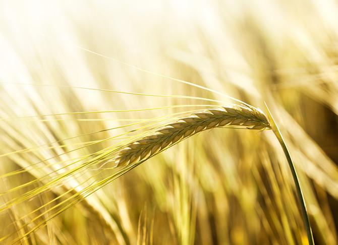 A BRIEF HISTORY OF WHEAT