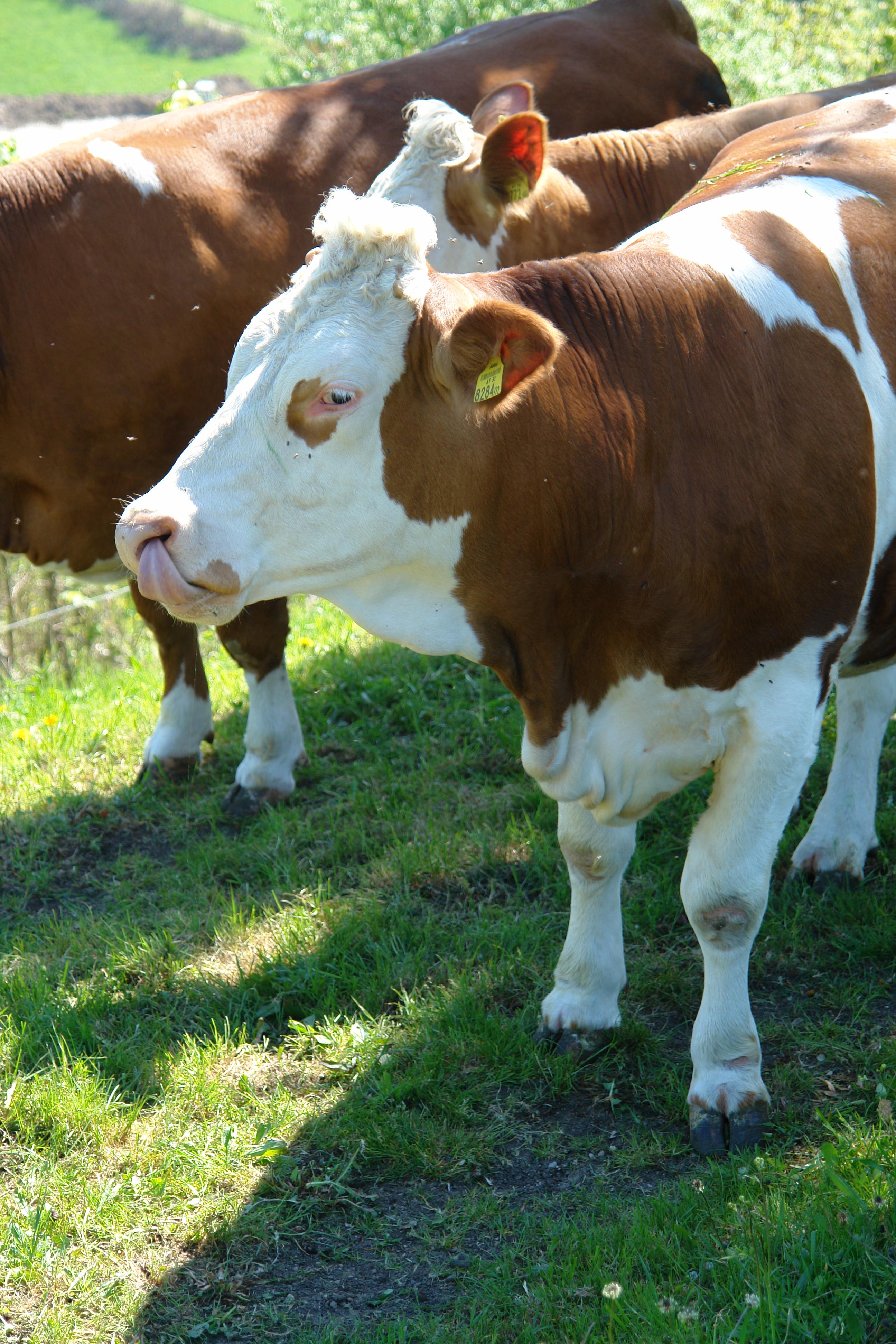 Kuh beim Naseputzen