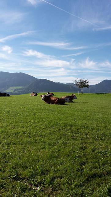 unsere Kühe genießen den Tag