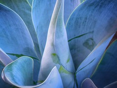 Blue Flame Agave