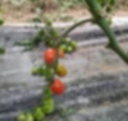 Tomates cerises recette Domaine Hort Del Gal Béziersedited.png