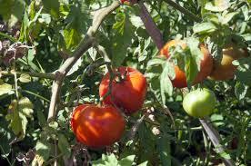 Tomates direct producteur Hort Del Gal Béziers