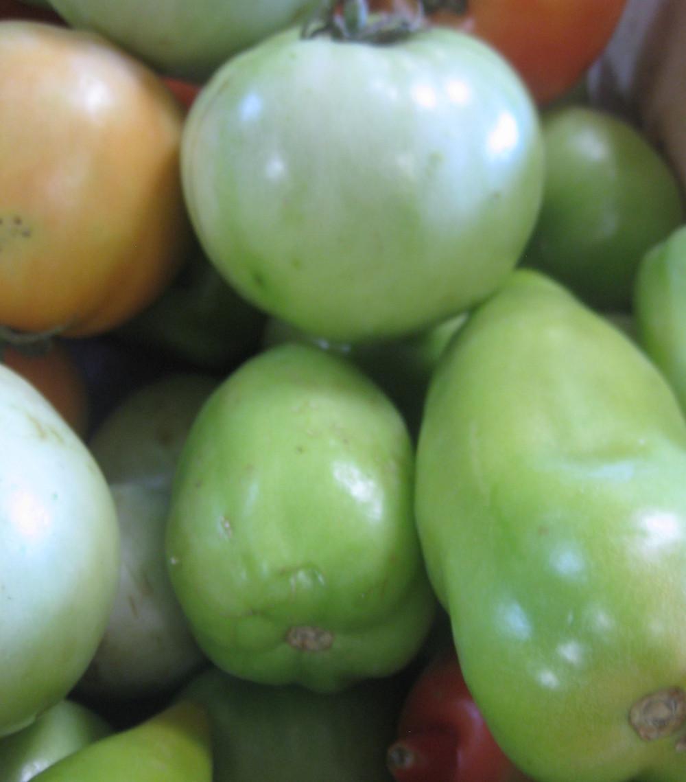 Les tomates vertes du Domaine de l'Hort Del Gal