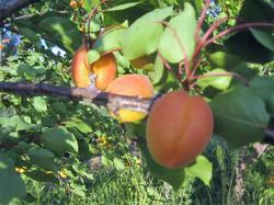 abricot