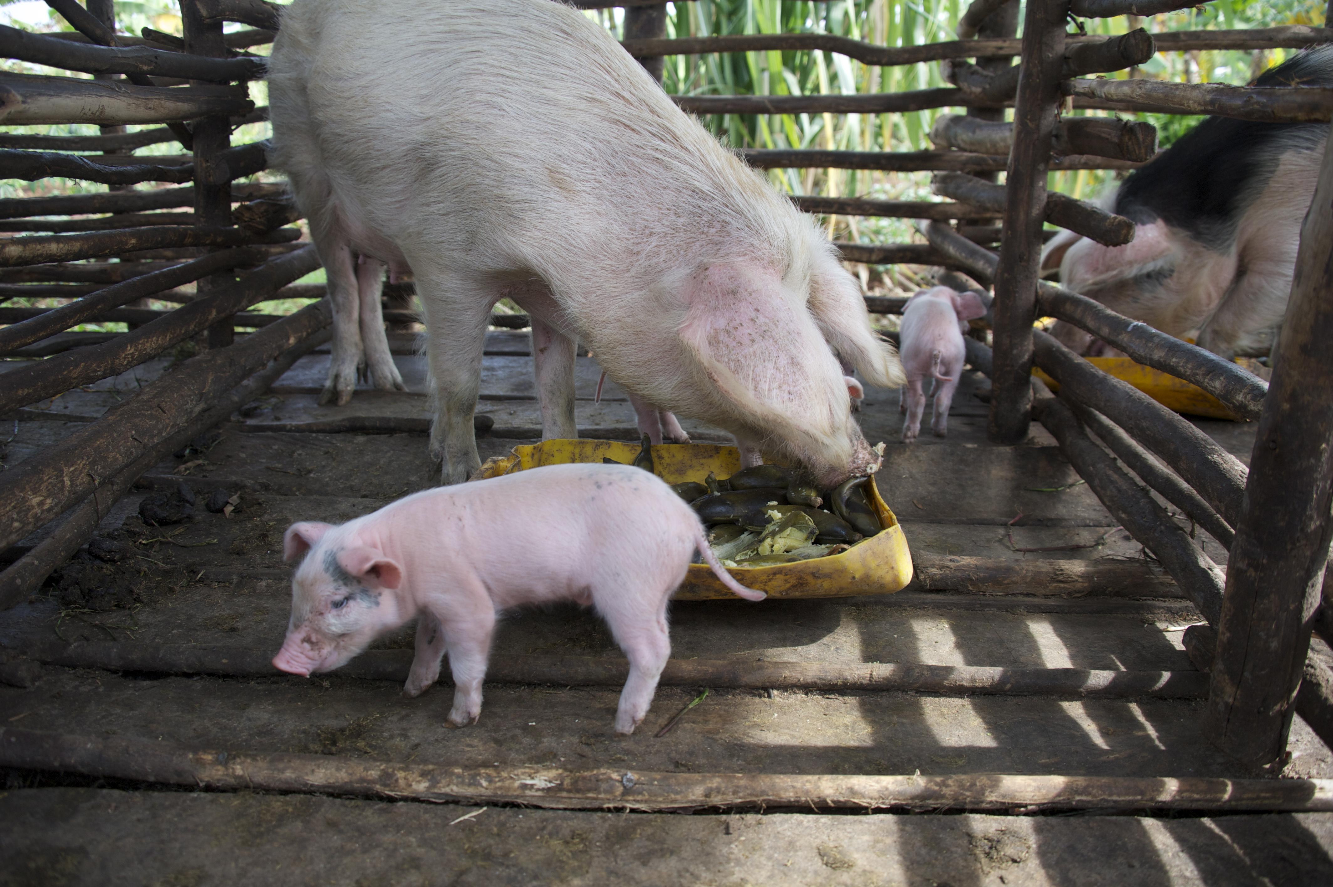Baby pigs in Binunga