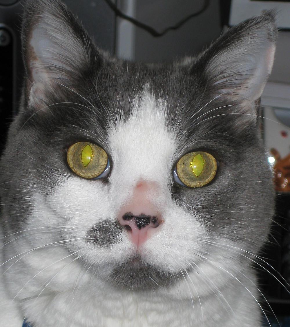 My precious Harlequin - the wonder cat!