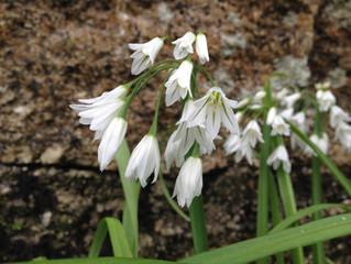 Three Cornered Leek, Allium triquetrum