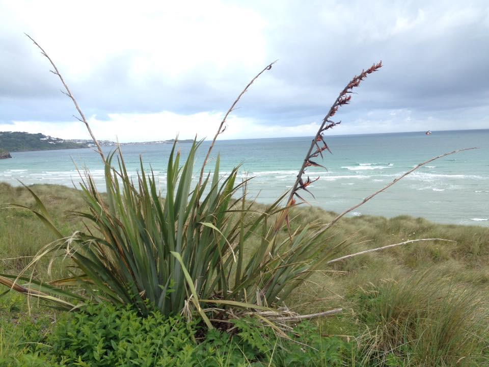 Phormium on the Cornish Coast