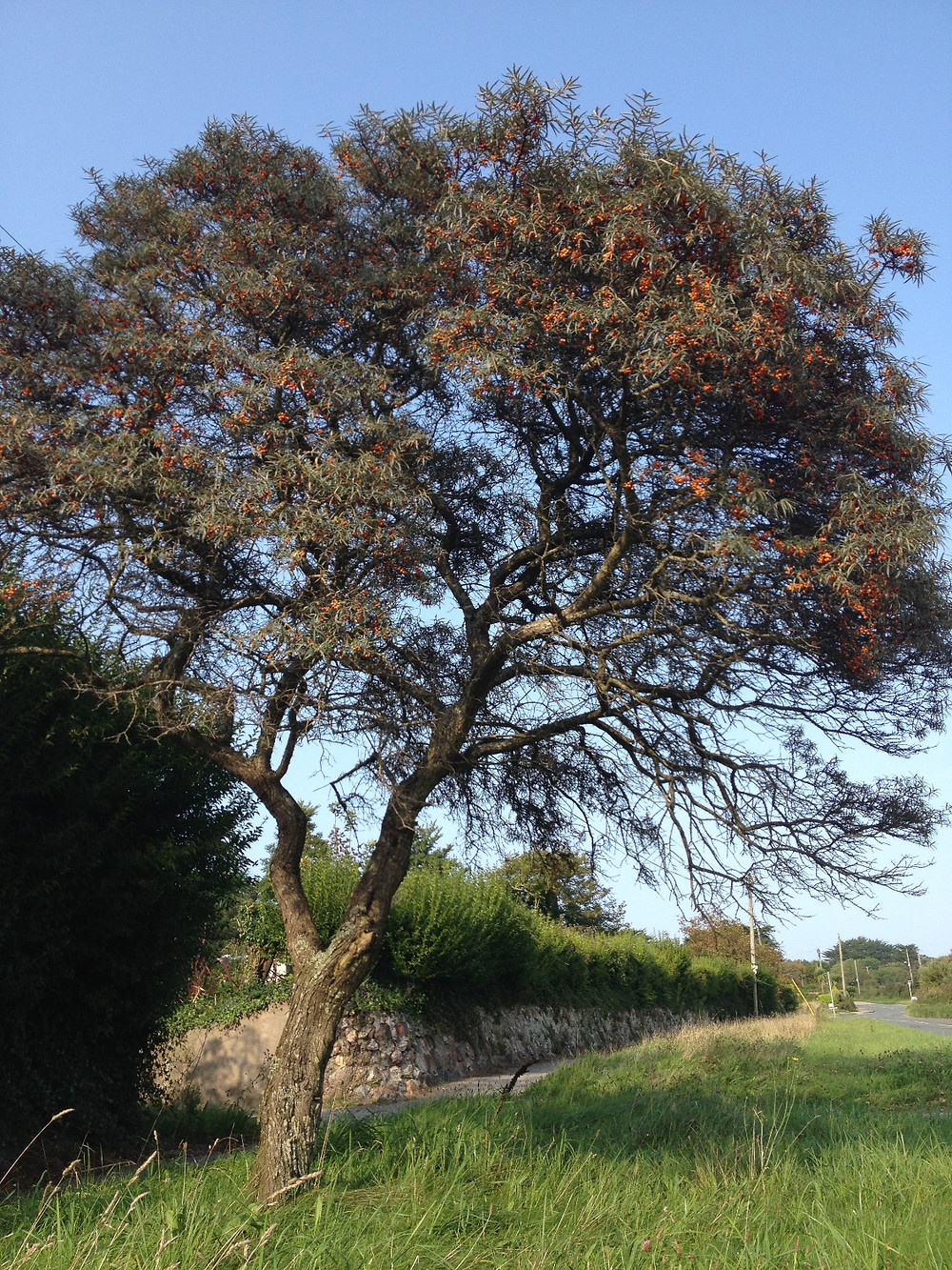 Sea buckthorn in its rarer tree form