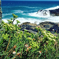 Rock samphire riding out the storm__#wil