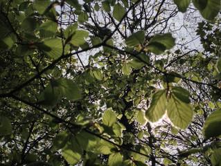 Beech leaf Liqueur (Noyau)