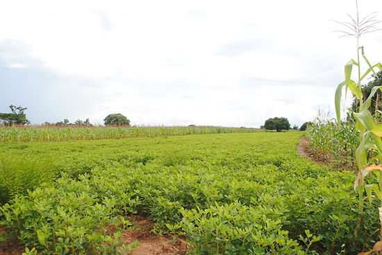 Groundnut field.jpg