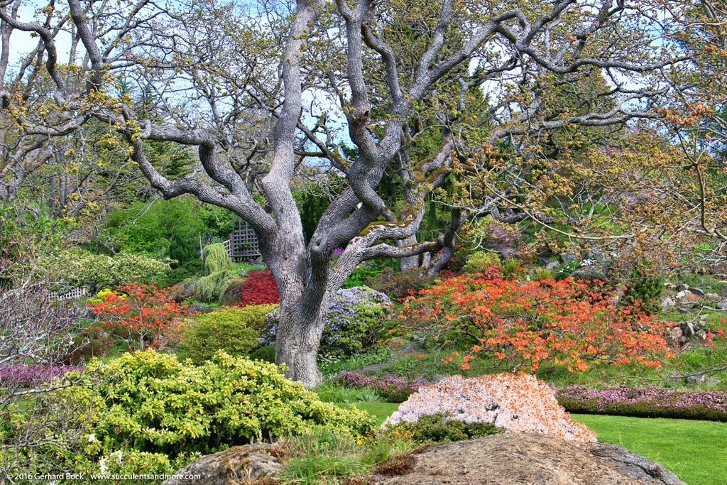 Garry Oak-AbkhaziGarden_0076[2]