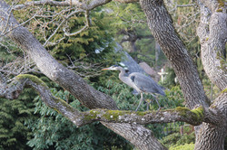 Blue Heron credit Jill Patterson