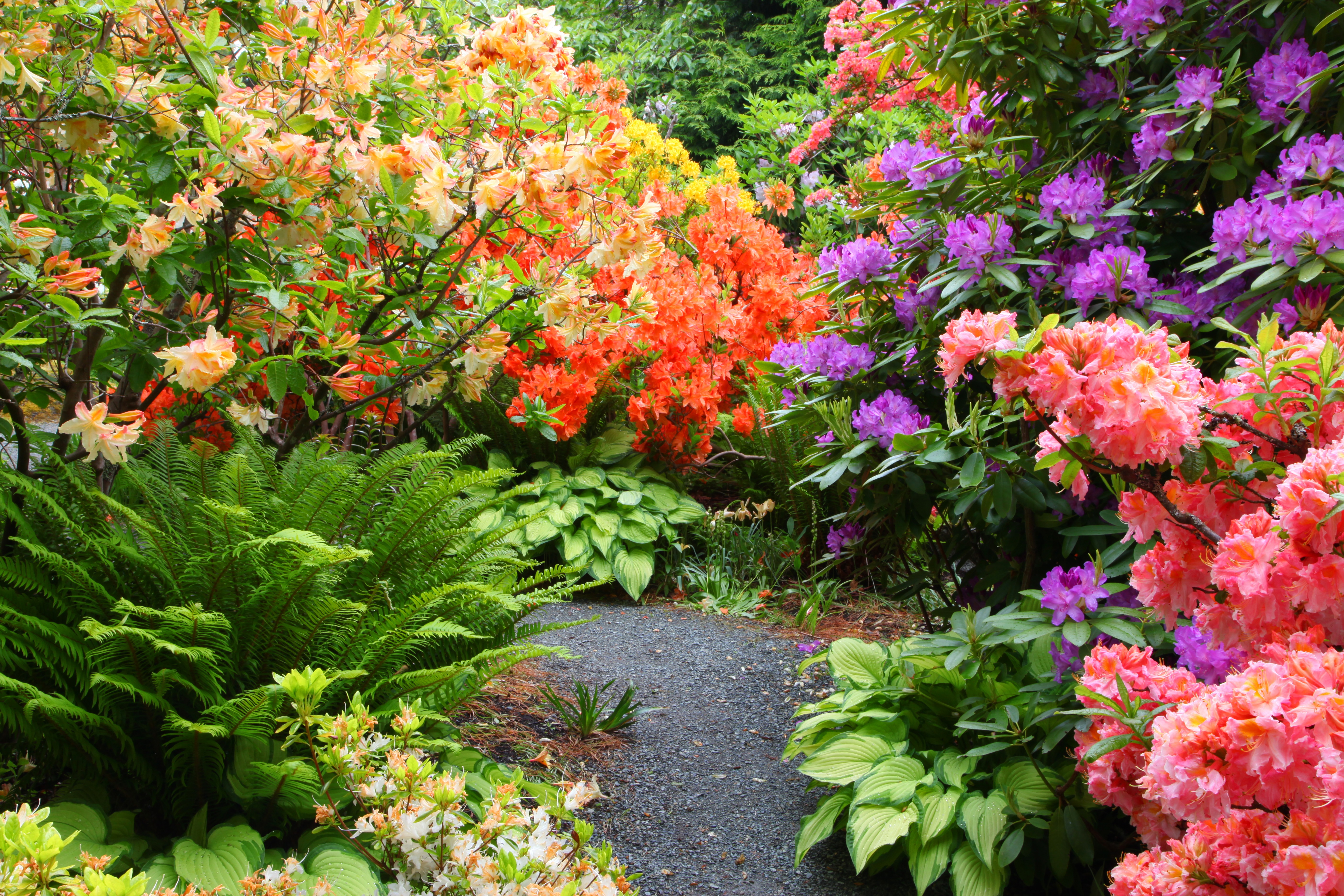 Garden Rhododendrons