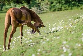 Jaffa biog Red Horse-156.jpg