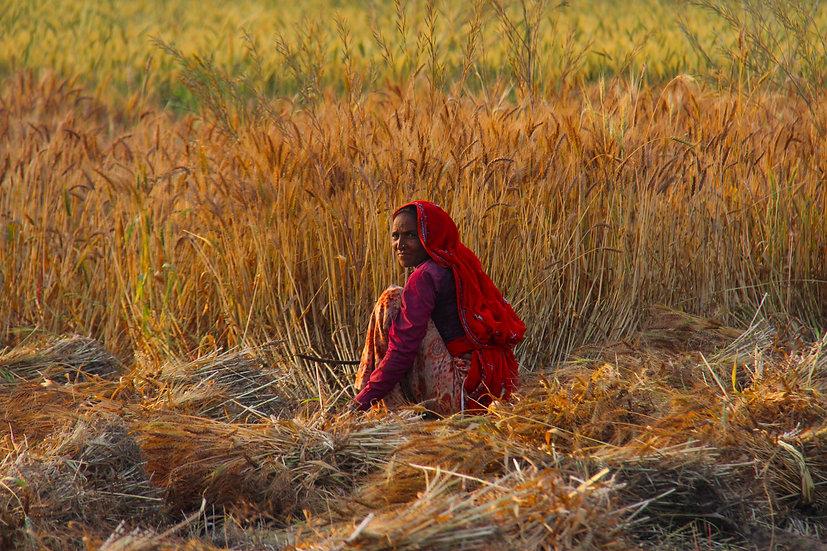 Harvest in Ajabgarh